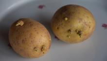 Kartoffeln Gekeimt Essbar